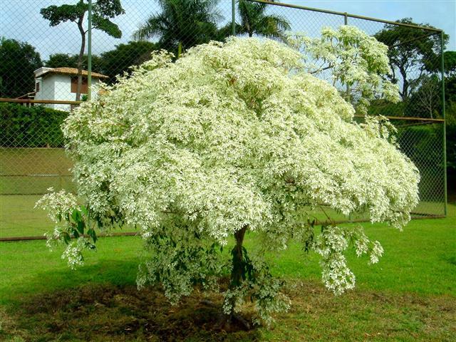 Euphorbia leucocephala )