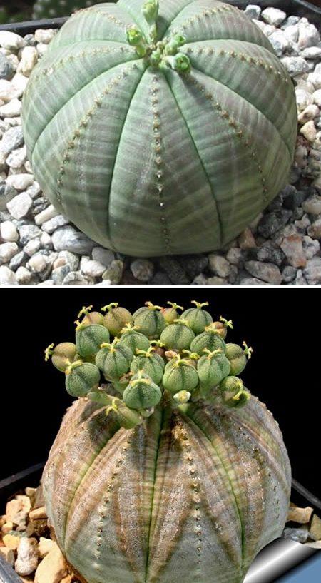 Euphorbia obese