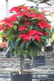 Euphorbia pulcherrima em vaso