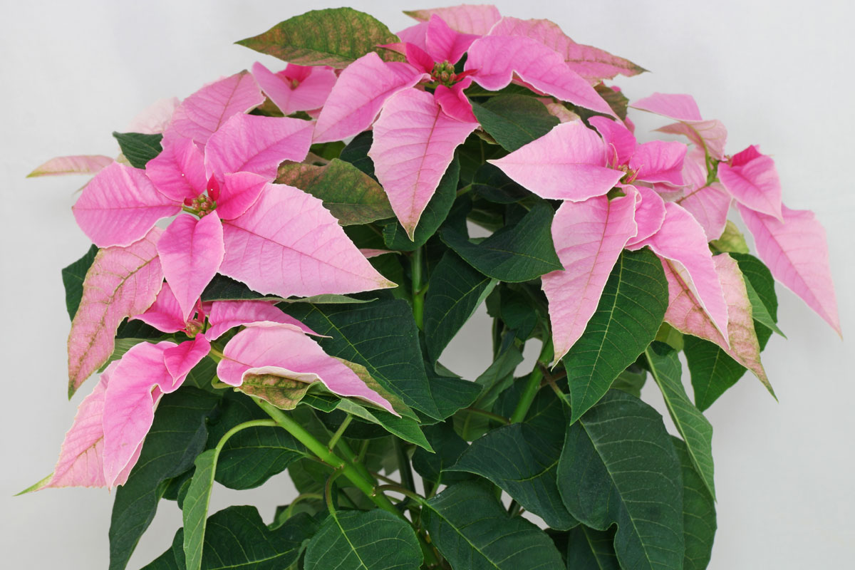Euphorbia-pulcherrima-rosa