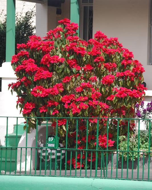 Euphorbia-pulcherrima