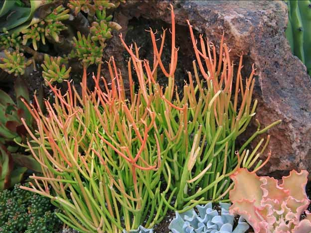 Euphorbia-tirucalli1