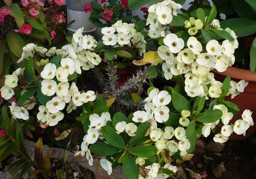 Euphorbia_Milii branca