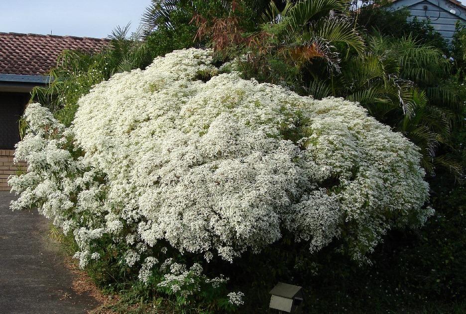 Euphorbia_leucocephala_2