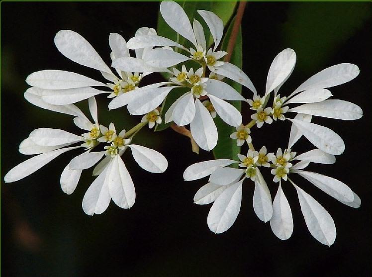 Euphorbia_leucocephala_3