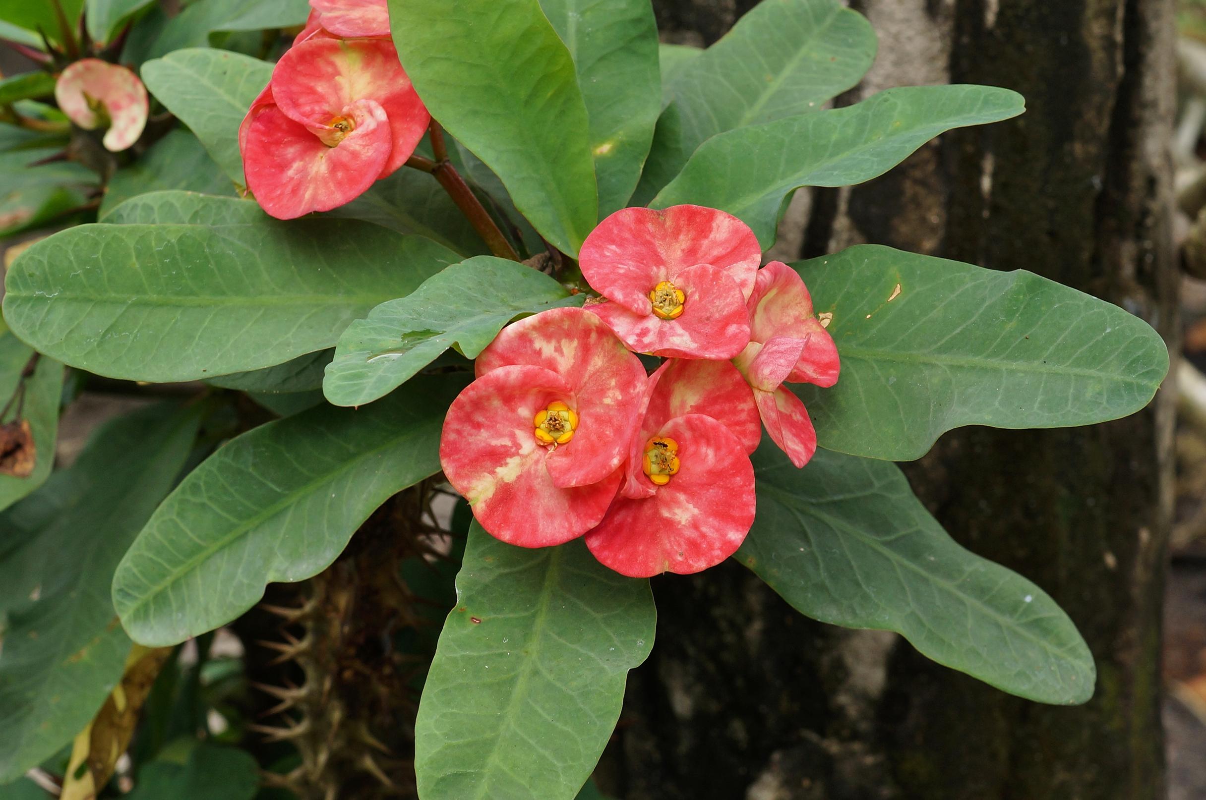 Euphorbia_milii_01