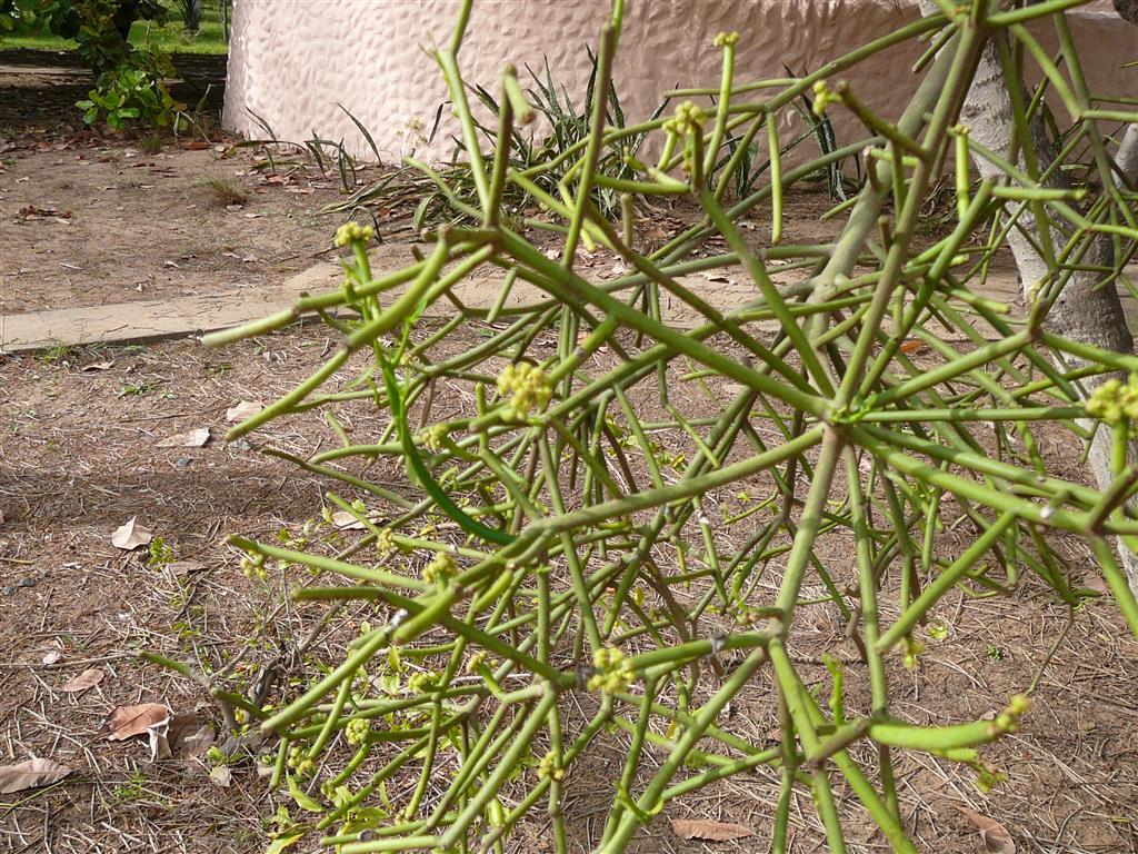 Euphorbia_tirucalli