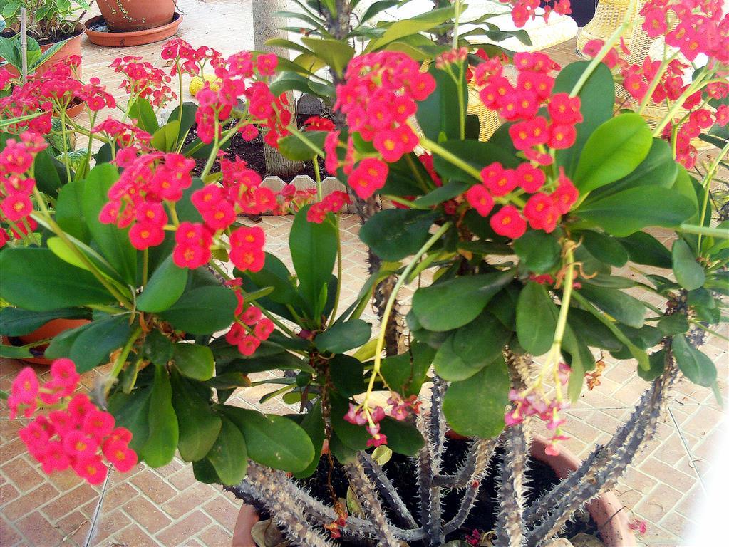 Euphorbiamilii
