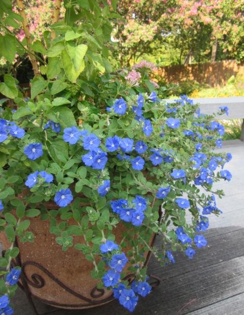 Evolvulus glomeratus, azulzinha,