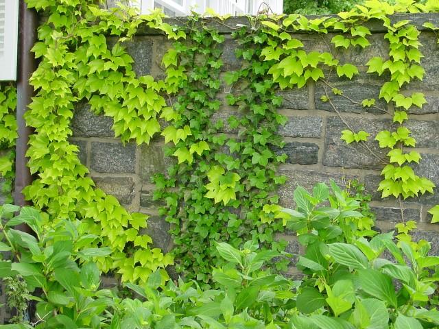Falsa vinha (Parthenocissus tricuspidata)