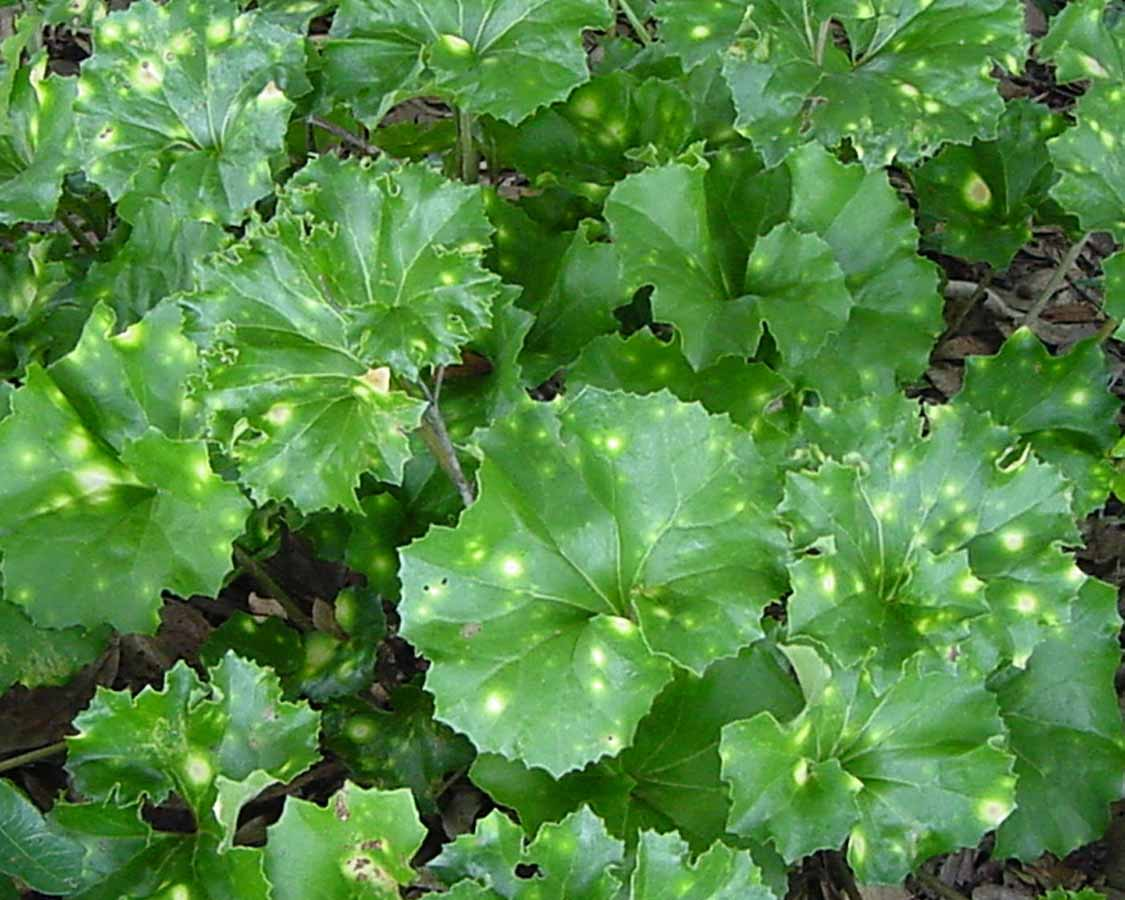 Farfugium-japonicum'Crispatum