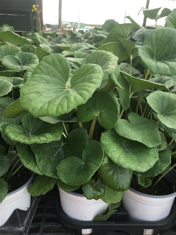 Farfugium japonicum Aureomaculata_
