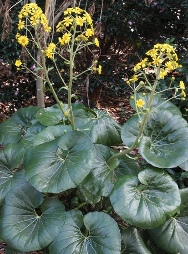 Farfugium-japonicum-Giganteum