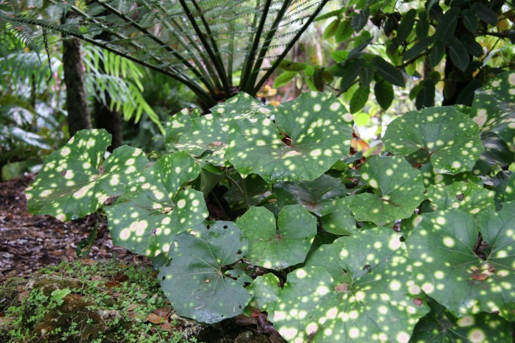 Farfugium_japonicum_Aureo-maculata