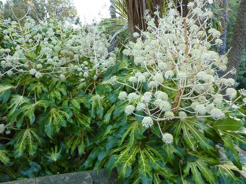 Fatsia_japonica flores1