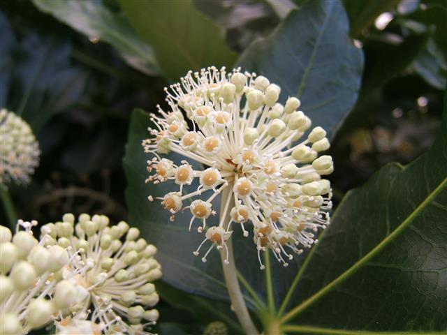 Fatsia_japonica1_floração