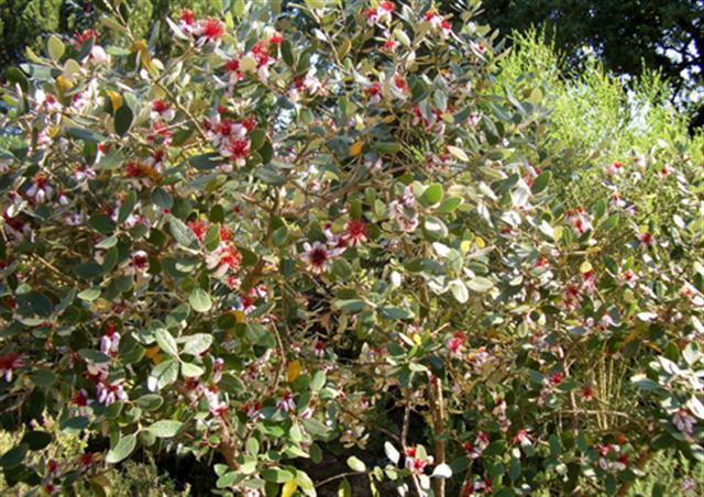 Feijoa-sellowiana (arbusto)