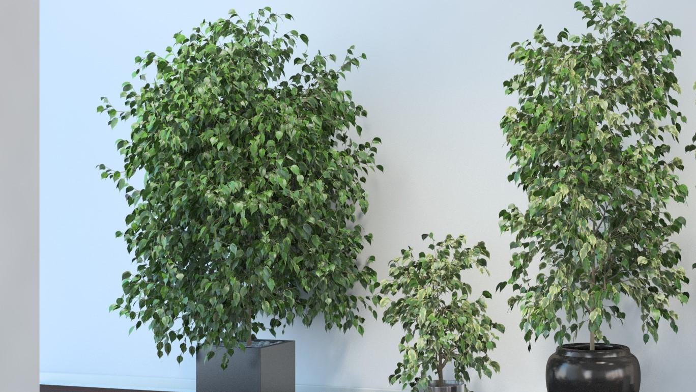 Ficus Benjamina)