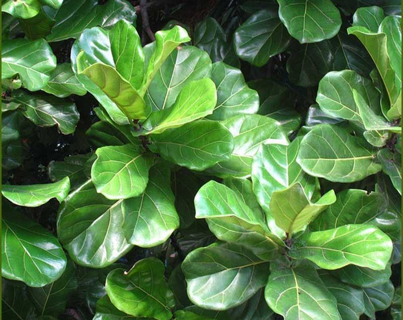 Ficus-Lyrata-1
