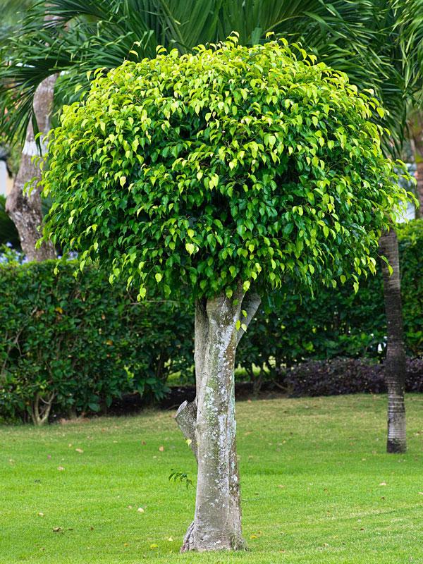 Ficus benjanina