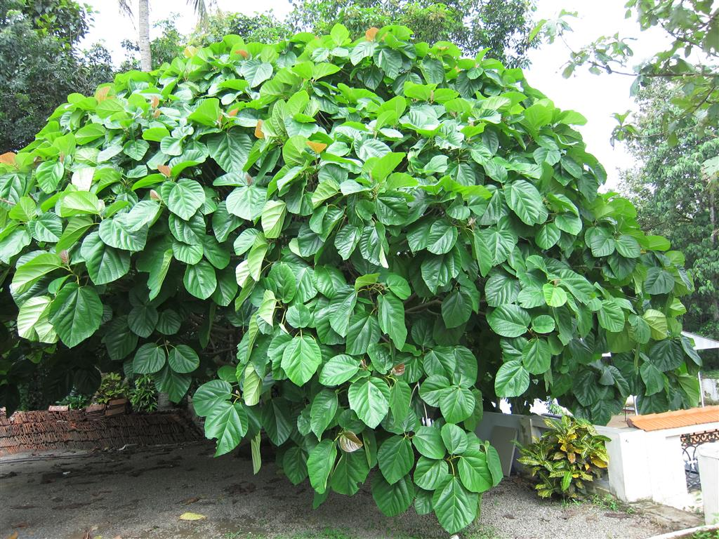 Ficus_auriculata