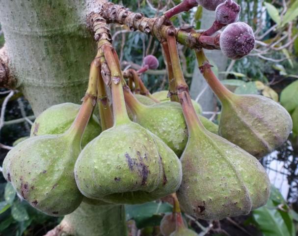 Ficus_auriculata-frutos