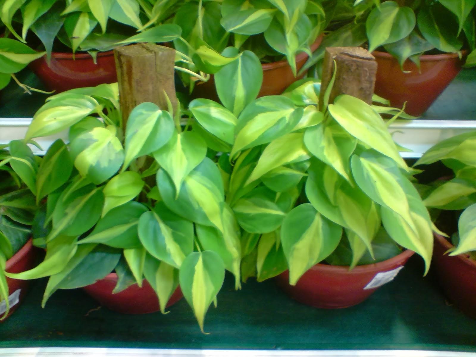 Flores e folhagens plantasonya o seu blog sobre for Planta filodendro