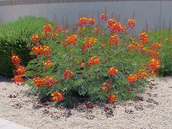 Flamboyanzinho caesalpinia pulcherrima plantasonya o seu blog sobre cultivo de plantas e - Caesalpinia gilliesii cultivo ...