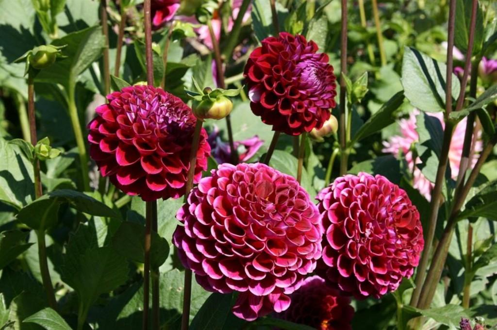 Flor-Dalia-Vermelha