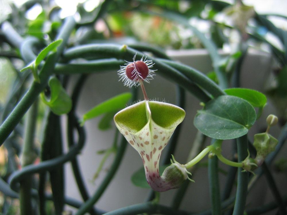 Flor-Palhaço-4