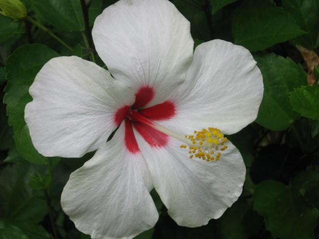 Flor-_Hibiscus_rosa-sinensis