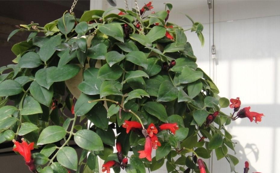 Flor-batom - Aeschynanthus radicans22