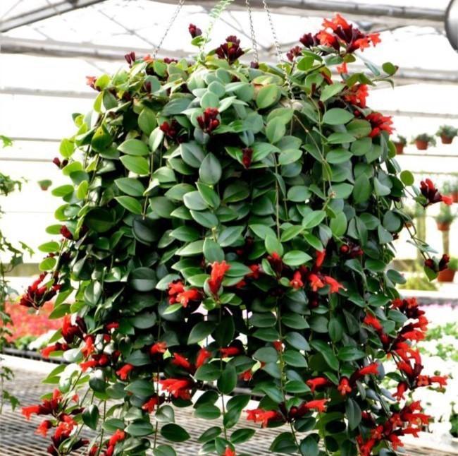 Flor-batom - Aeschynanthus radicans4