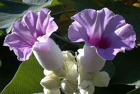 Flor da Argyreia nervosa
