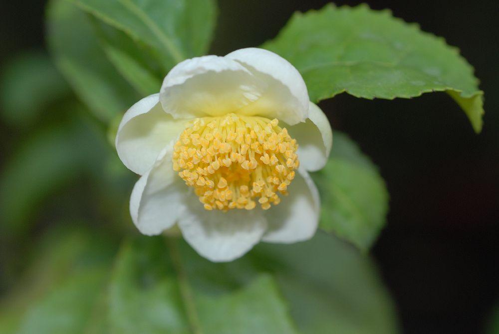 Flor da Camélia sinensis
