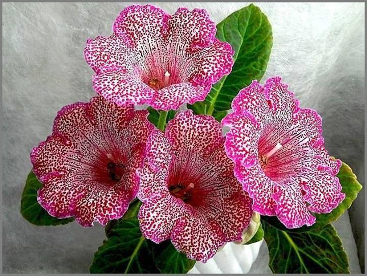 Flor-de-Gloxinias