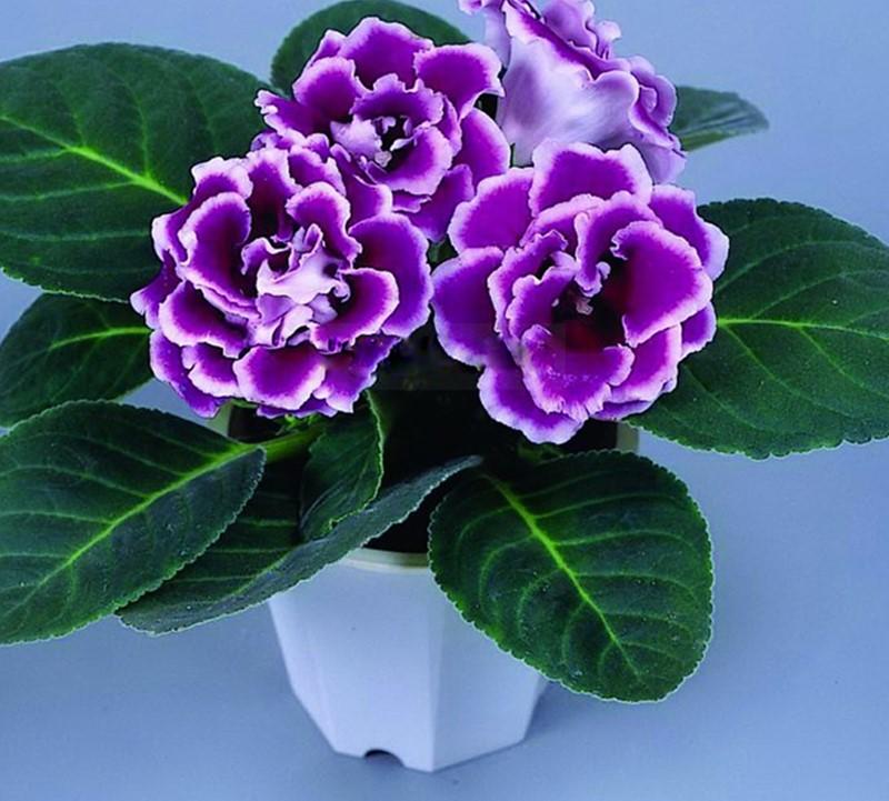 Flor-de-Gloxinias-17