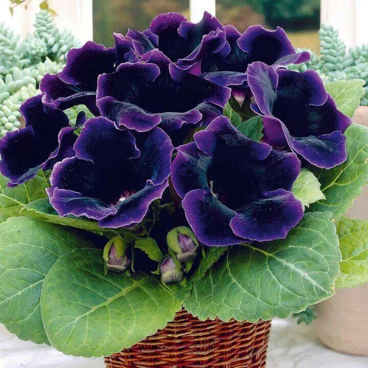 Flor-de-Gloxinias-4