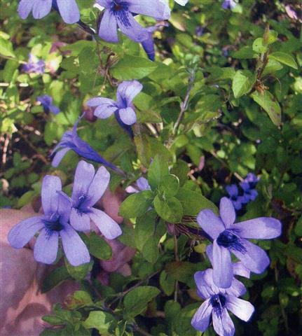 Flor-de-bode