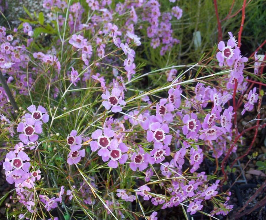 Flor-de-cera-de-geraldton1