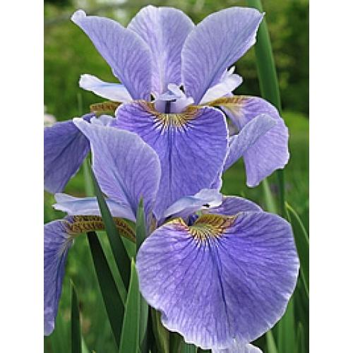 Flor-de-lís-da-Sibéria – (Iris Sibirica)