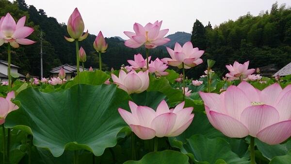 Flor-de-lótus-em-jardim