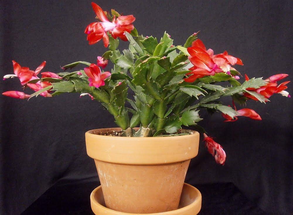 Flor-de-maio - (Schlumbergera truncata)