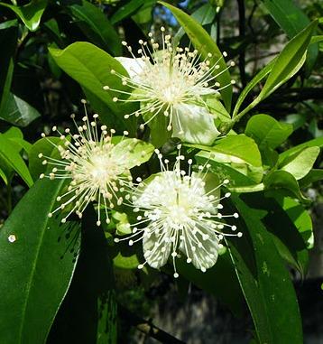Flores da CerejeiraDoMato_