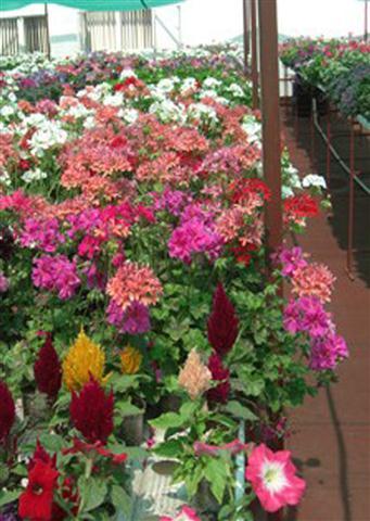 Flores - hidroponia