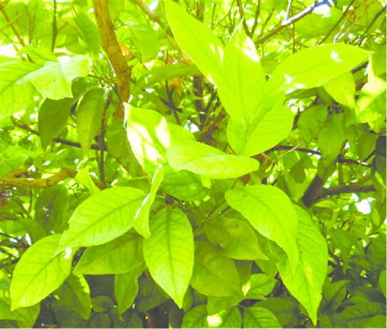Folhas da laranjeira com sintomas típicos de clorose férrica