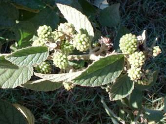 Framboesa verde (R. erytrocladus)