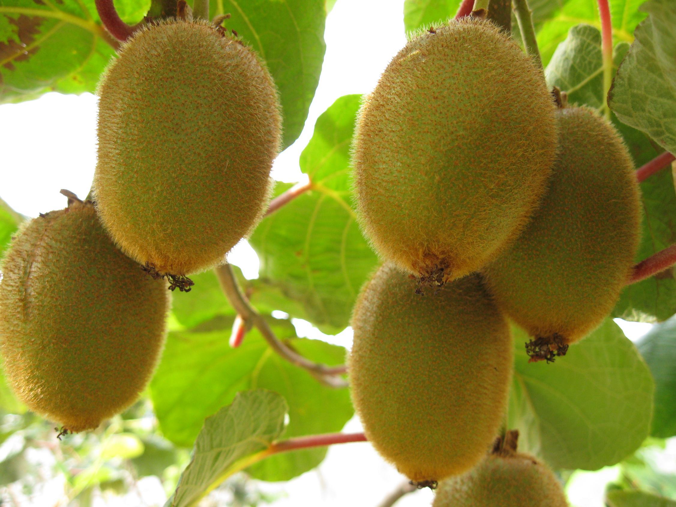 Fruta-kiwi