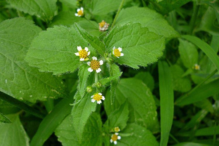 Galinsoga-parviflora