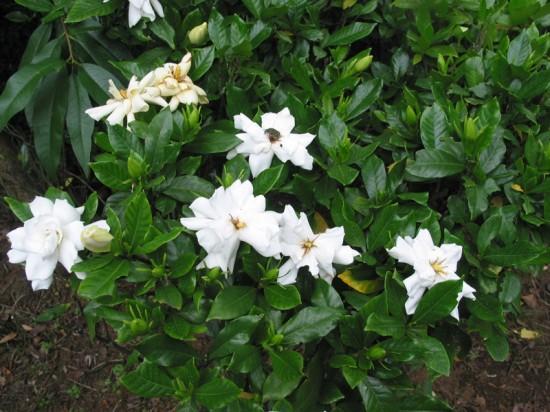 Gardenia-Jasminoides-550x412